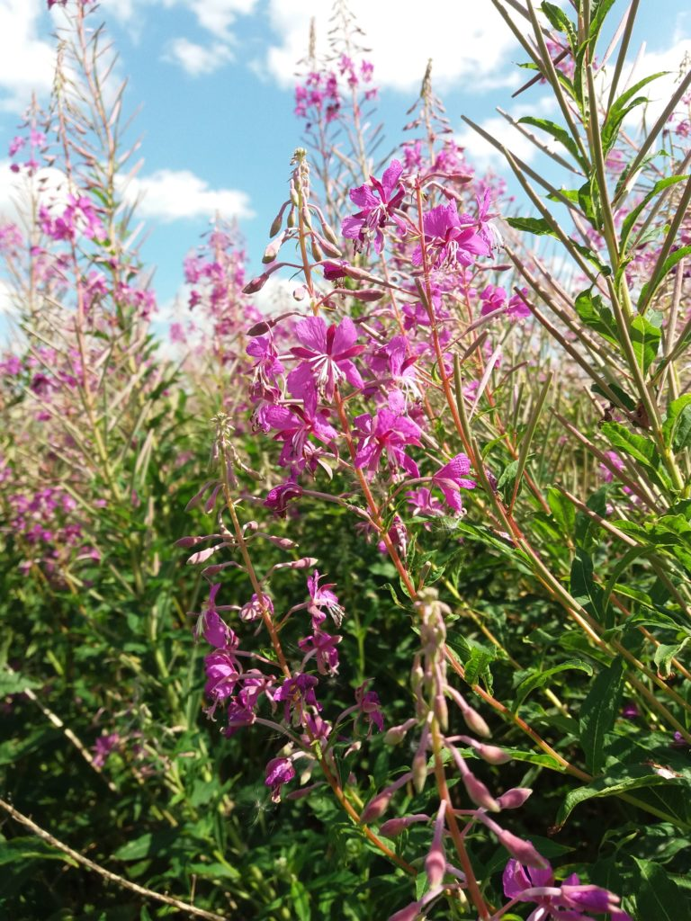 Is Rosebay Willowherb a Weed