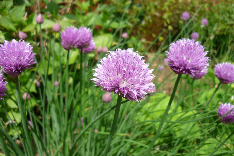 Royalty Free Preview Image of Chives
