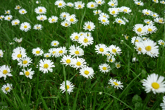 Royalty Free Preview Image of Daisies in Grass